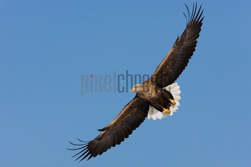 White Tailed Eagle in Flight International Crane Center Akan Hokkaido Japan