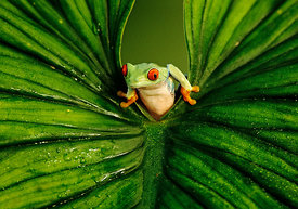 Red-eyed Tree Frog peering through leaf (captive)