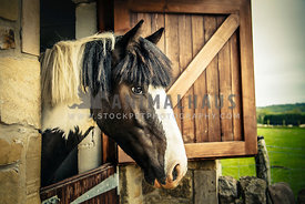 skewbald (pinto) horse looking out from stable