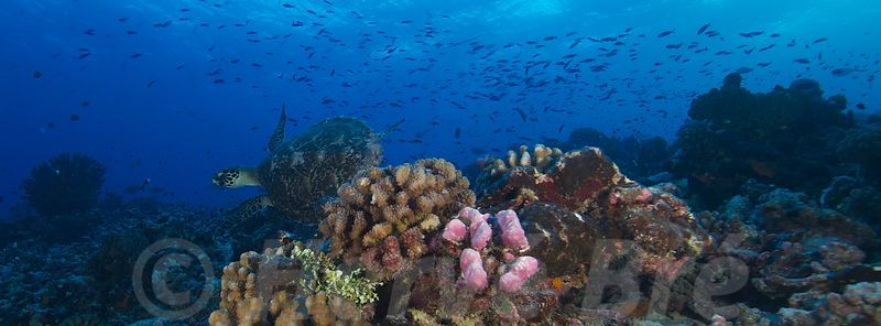 Diving along Rangiroa's reef in Tuamotu islands