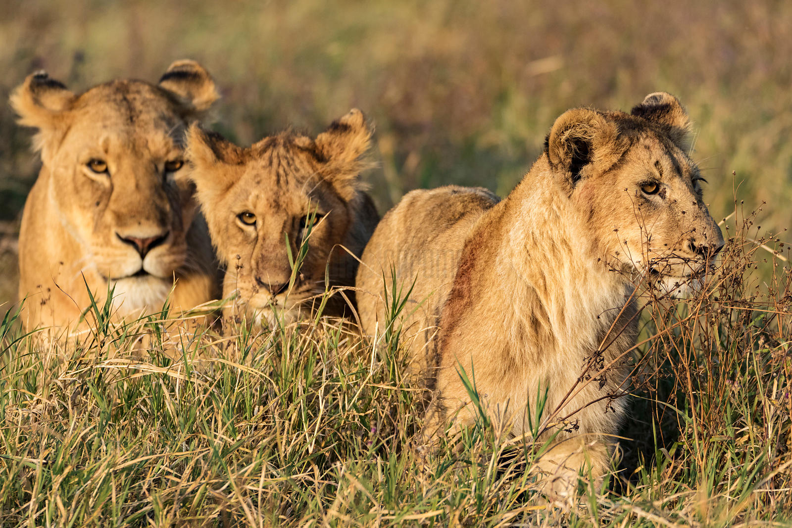 A Lioness and Two Cubs in Long Grass