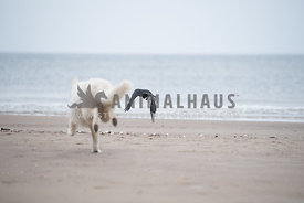White German Shepherd Dog chasing black bird at the beach with cloudy sky