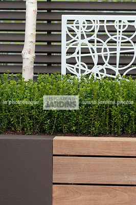 Buxus sempervirens (buis commun), Common box, Conception : OneAbode Ltd. HCFS, Angleterre