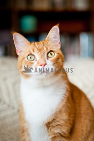 Orange tabby cat in the living room