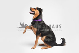 rottweiler shaking paw, profile facing left, on a white background