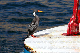 Adult Red legged or Gaimard's cormorant ( Phalacrocorax gaimardi ) perched on buoy
