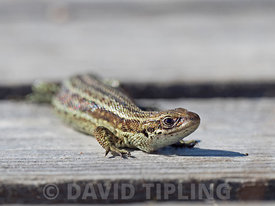 Common (Vivaporous) Lizard Zootoca vivipara on boardwalk on Handa Island Scotland May