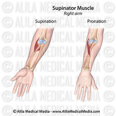 Muscle supinateur