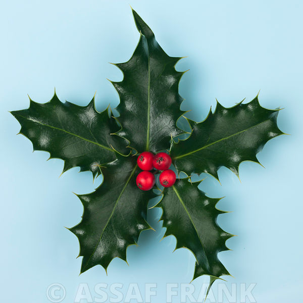 Star shape holly with berries