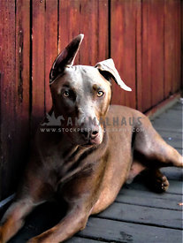 doberman pinscher laying against red fence