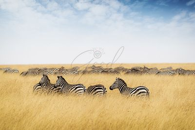 Herd of zebra in tall grass of Kenya Africa