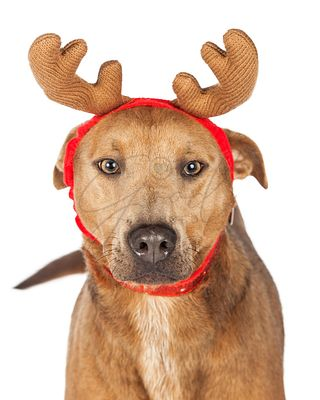 Shepherd Crossbreed Dog Christmas Reindeer