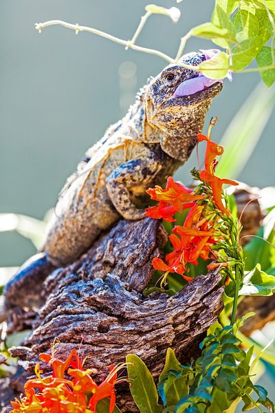 Chuckwalla Eating Flower On Branch
