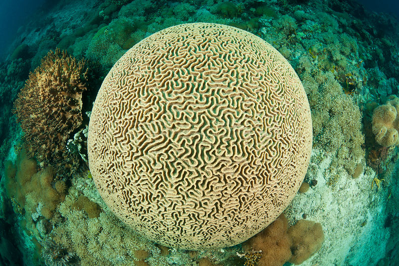 Large round Brain coral (Platygyra lamellina) on coral reef, North Sulawesi, Indonesia