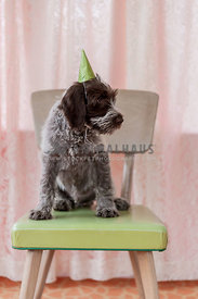 Sideview of little scruffy puppy sitting on a chair with a party hat on