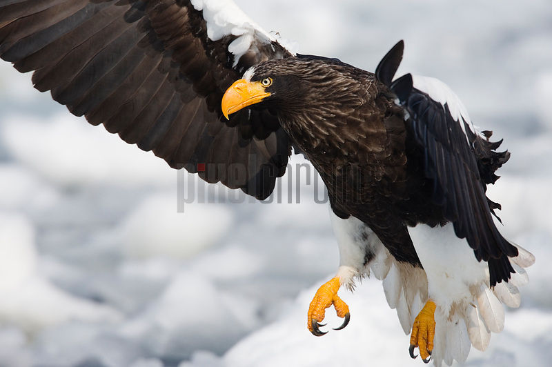 Steller's Eagle landing on ice floe, Nemuro Channel, Hokkaido, Japan
