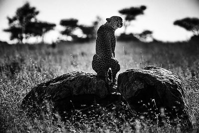 00617-Cheetah_on_a_rock_Tanzania_2018_Laurent_Baheux