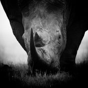 4695-White_Rhino_eating_the_grass_South_Africa_2008_Laurent_Baheux