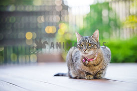 Tabby cat sitting on deck with soft background