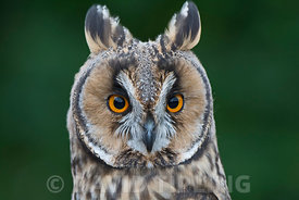 Long-eared Owl Asio otus portrait of captive bird