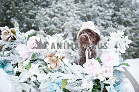 Shaggy puppy with bonnet on sitting in a flower covered sleigh in the snow