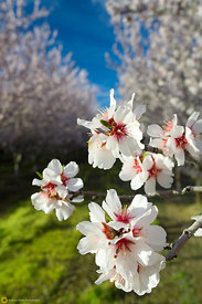 Almond Blossoms #5