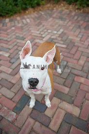 white and brown pitbull standing on brick patio looking up at camera