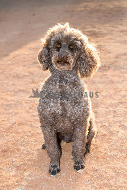 Senior poodle back lit by sunlight. Plain background