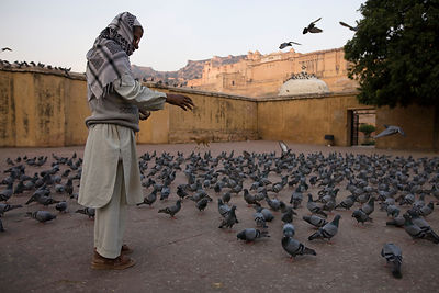 India - Rajasthan - A man feed the pigeons just after sunrise below the Amber Fort