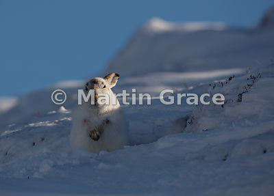 Mountain Hare (Arctic Hare) (Lepus timidus) standing in its form, warming itself in late afternoon winter sun, February 13, S...