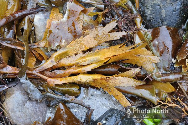 WRACK SEAWEED 31A - Toothed wrack
