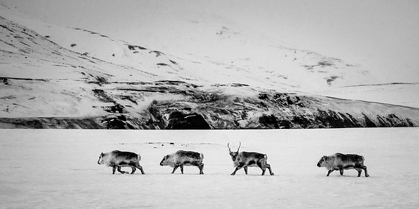 6187-Four_reindeers_walking_on_the_snow_Svalbard_2014_Laurent_Baheux