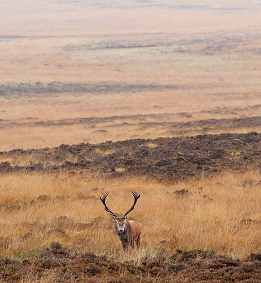 Red deer stag on Big Moor