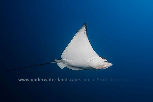 Eagle ray - Spotted eagle ray