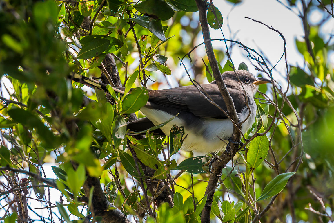 Yellow-billed Cuckoo in Dry Tortugas National Park