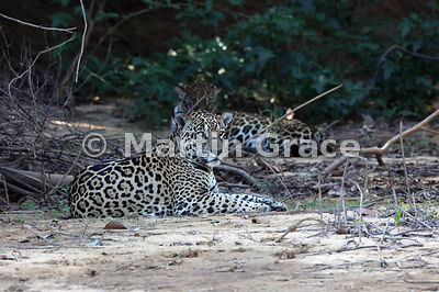 My first encounter with this male Jaguar (Panthera onca) known as Merlin (foreground) and a female known as Pantaneira (behin...