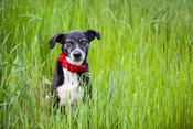 Senior Dog Sitting in Green Grass with Red Rose Collar
