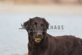 Flatcoat holding a ball