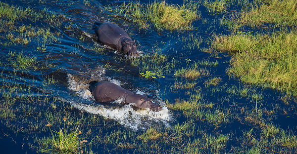 Hippopotamus (Hippopotamus amphibius) in the water, aerial view of Okavango Delta swamp, Botswana