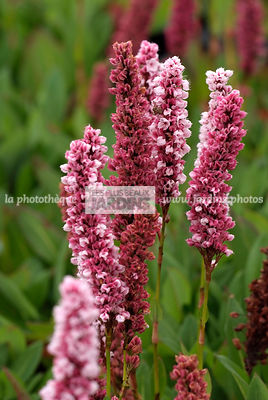Persicaria affinis 'Darjeeling Red', Collection Pépinières Lepage