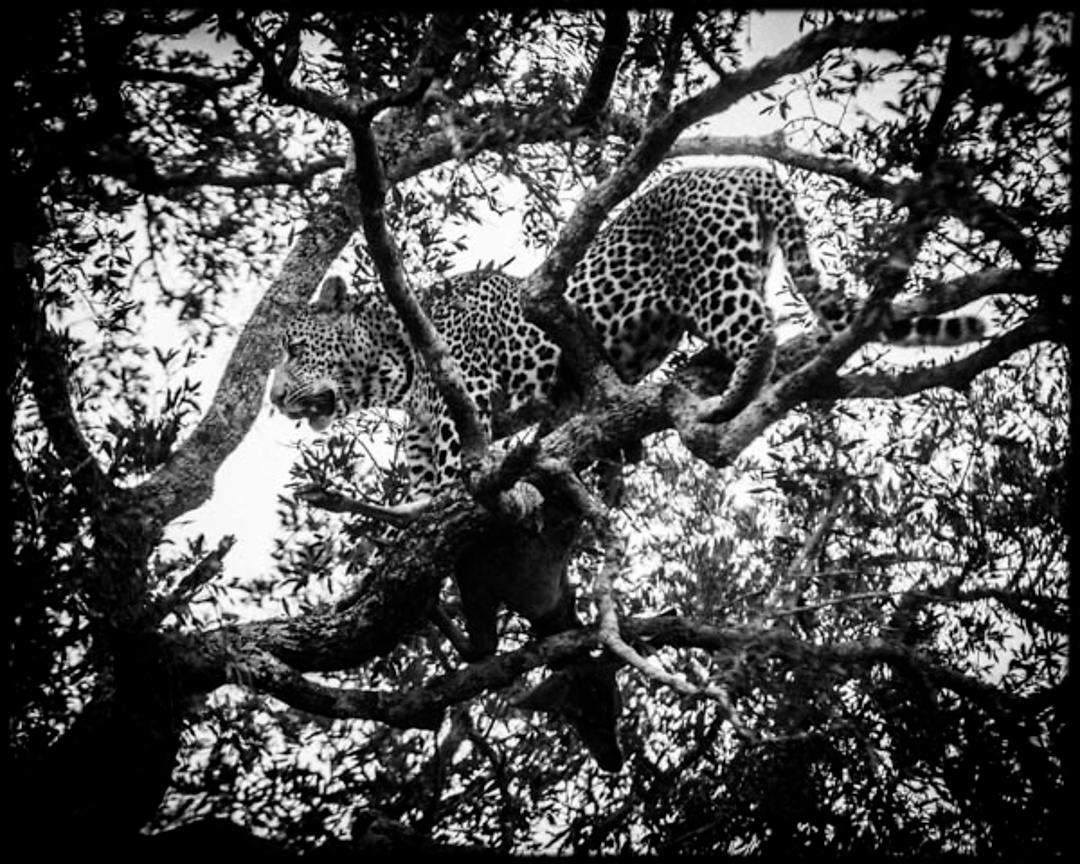 4760-Leopard_climbing_in_a_tree_Laurent_Baheux