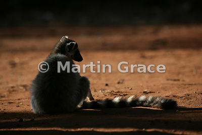 Ring-Tailed Lemur (Lemur catta) warming up in early morning sun, Berenty Reserve, Madagascar