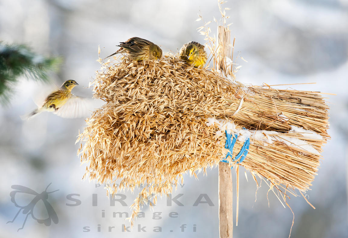 YellowHammers on Oat Sheaf