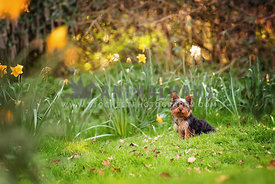 yorkshire terrier puppy sitting in daffodil field