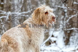 Shaggy young hunting spinone italiano dog in the snow-capped forest