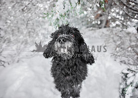 Cockapoo dog sitting in the snow under a snowy tree