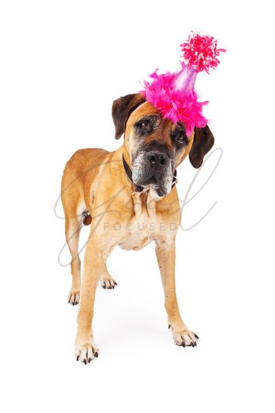 Mastiff Dog With Pink Party Hat