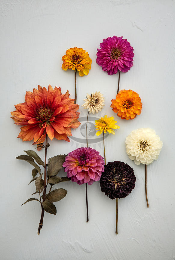 Dahlia DIY by Gabler