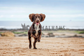 brown spaniel on beach running towards camera front paws in the air