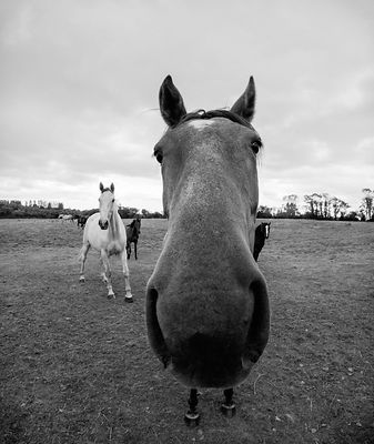 Why_the_long_face_Wexford_horse_04082016